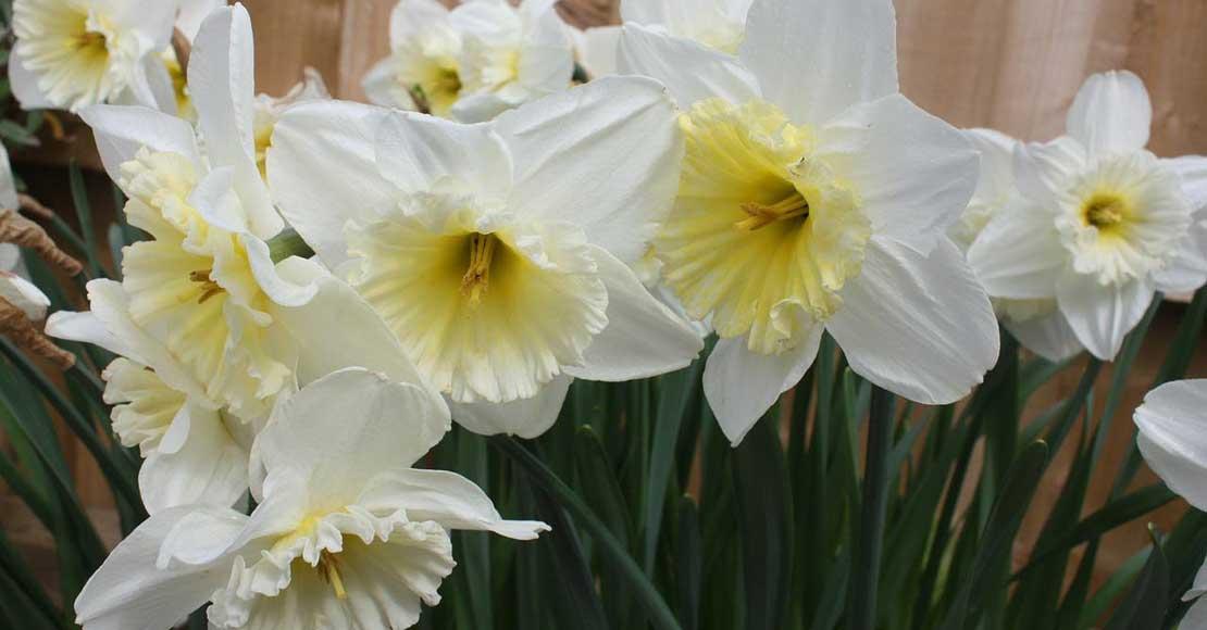 Cebulki kwiatowe – kiedy i jak je sadzić jesienią?