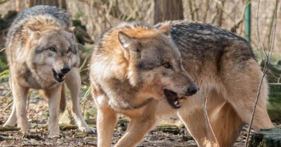 Jak bezpiecznie postępować przy spotkaniu w wilkami?