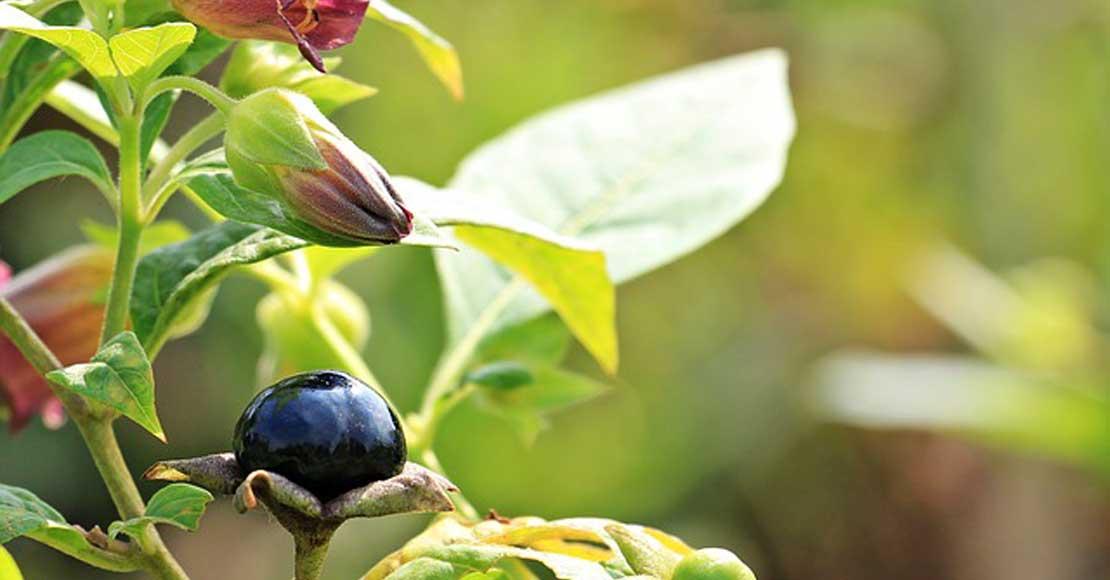 Trująca roślina w obronie zdrowia