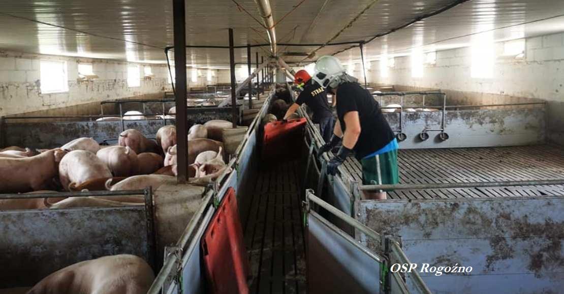Musieli ewakuować kilkaset tuczników, kilka świń nie przeżyło