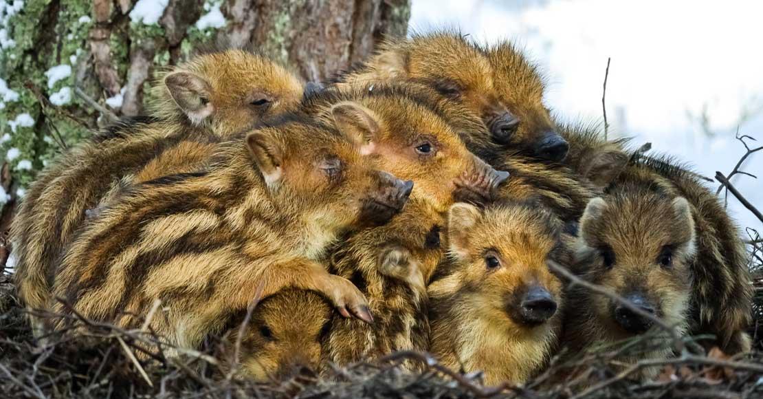 W lasach pojawiły się już małe dziki.
