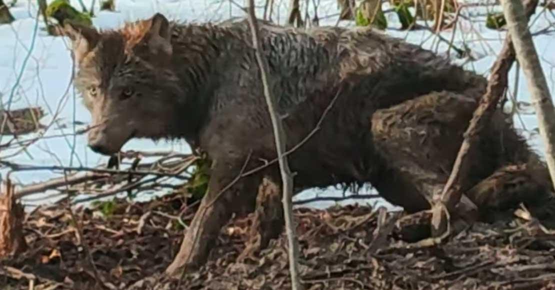Młody wilk uratowany przez leśników