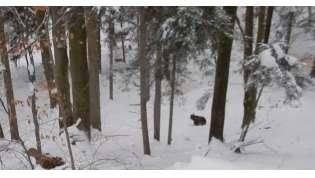 Atak wilków na niedźwiedzie